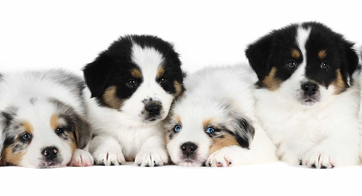 Australian Shepherd Dog Breed Information Center