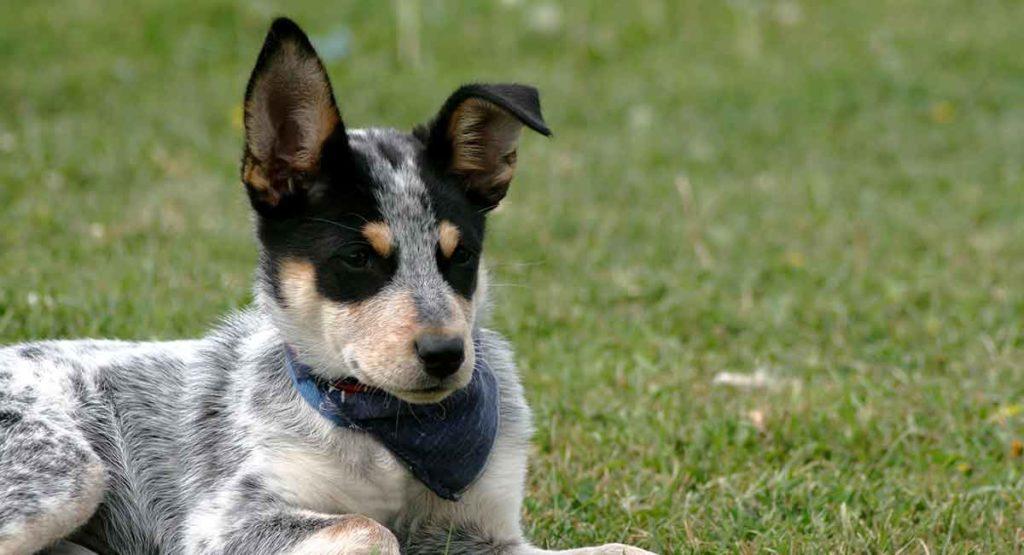 Blue Heeler - Australian Cattle Dog
