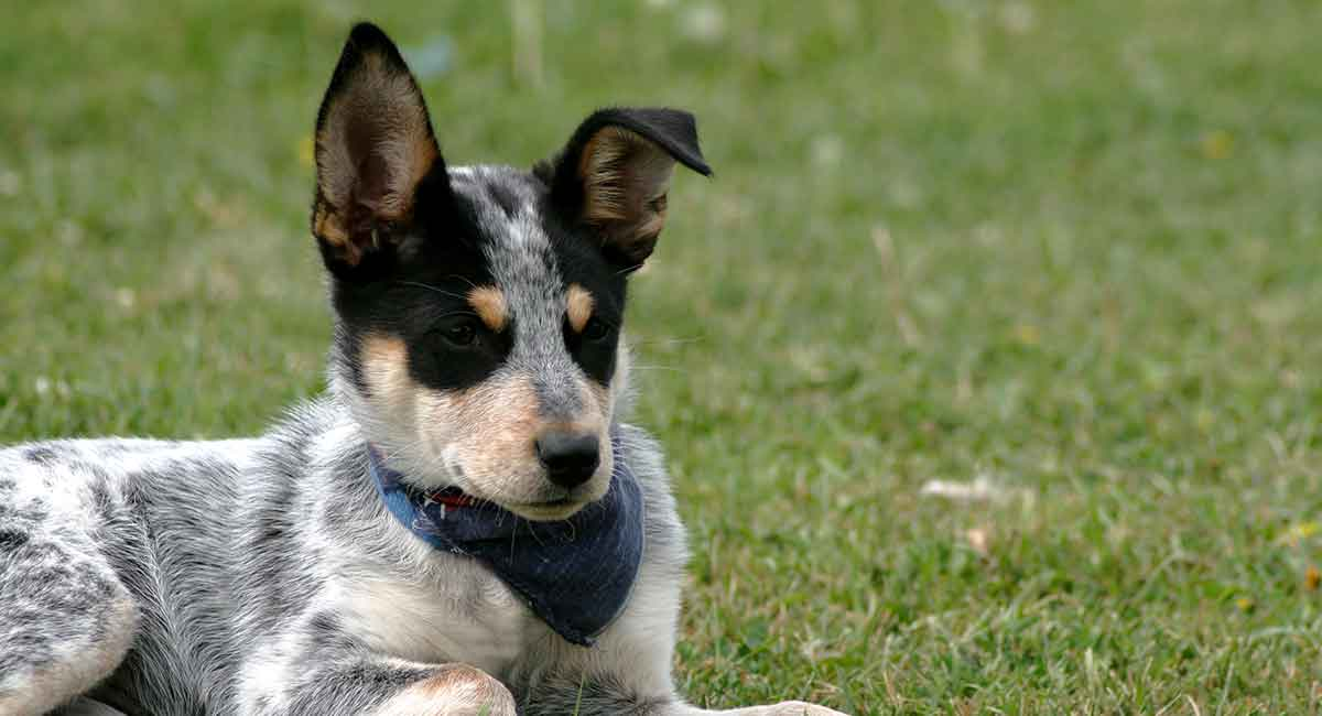 Blue Heeler A Complete Guide To The
