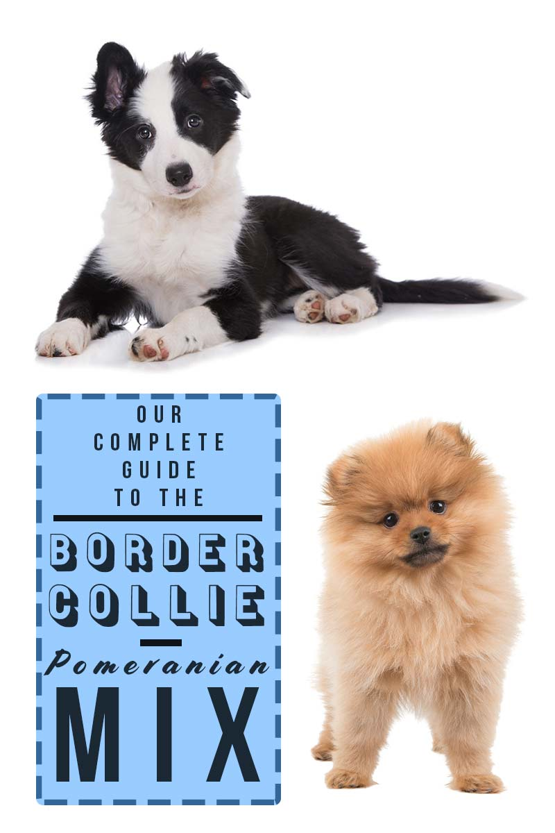 Our complete guide to the Border-Collie Pomeranian mix - Mixed dog breed review.