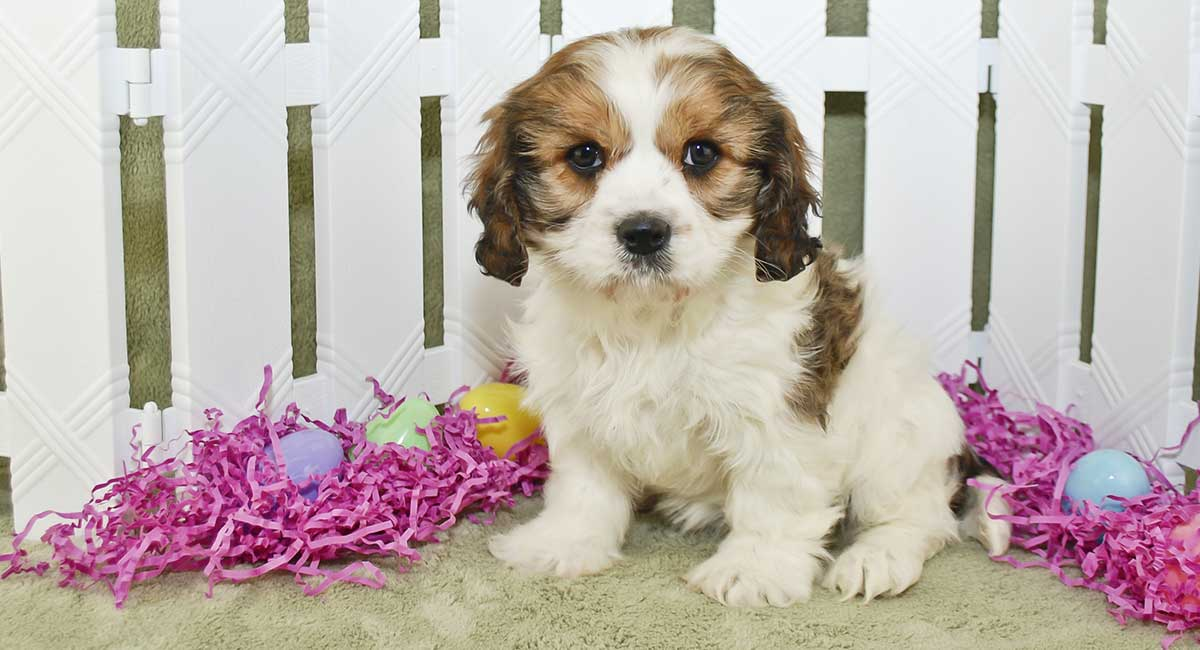 Cavachon Dog The Cavalier Bichon Mix