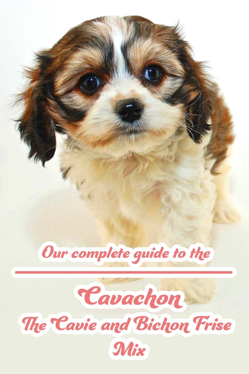 Our complete guide to the Cavachon The Cavie and Bichon Frise Mix - Dog breed guide