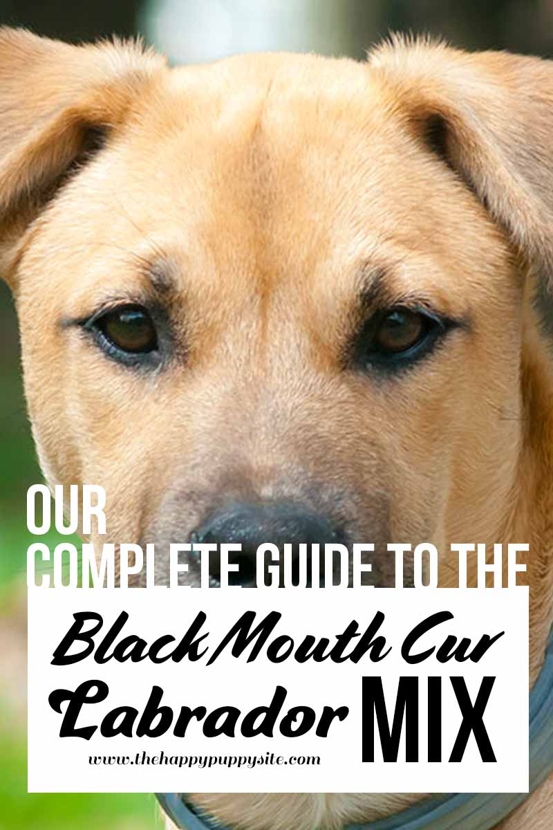 Our complete guide to the Black Mouth Cur Labrador Mix - Dog breed review.