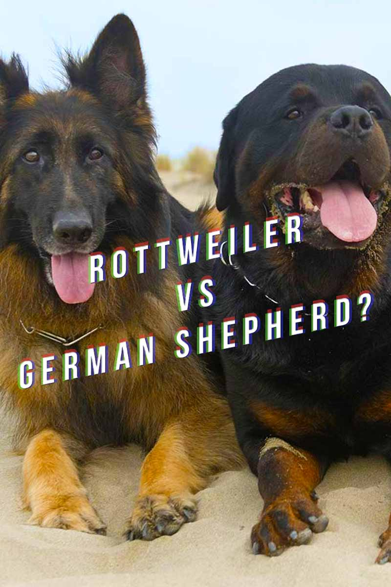 Rottweiler vs German Shepherd? - Dog breed reviews