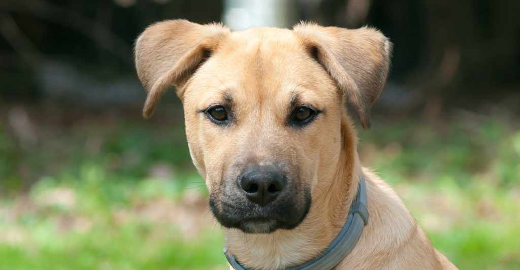 Black Mouth Cur Lab Mix