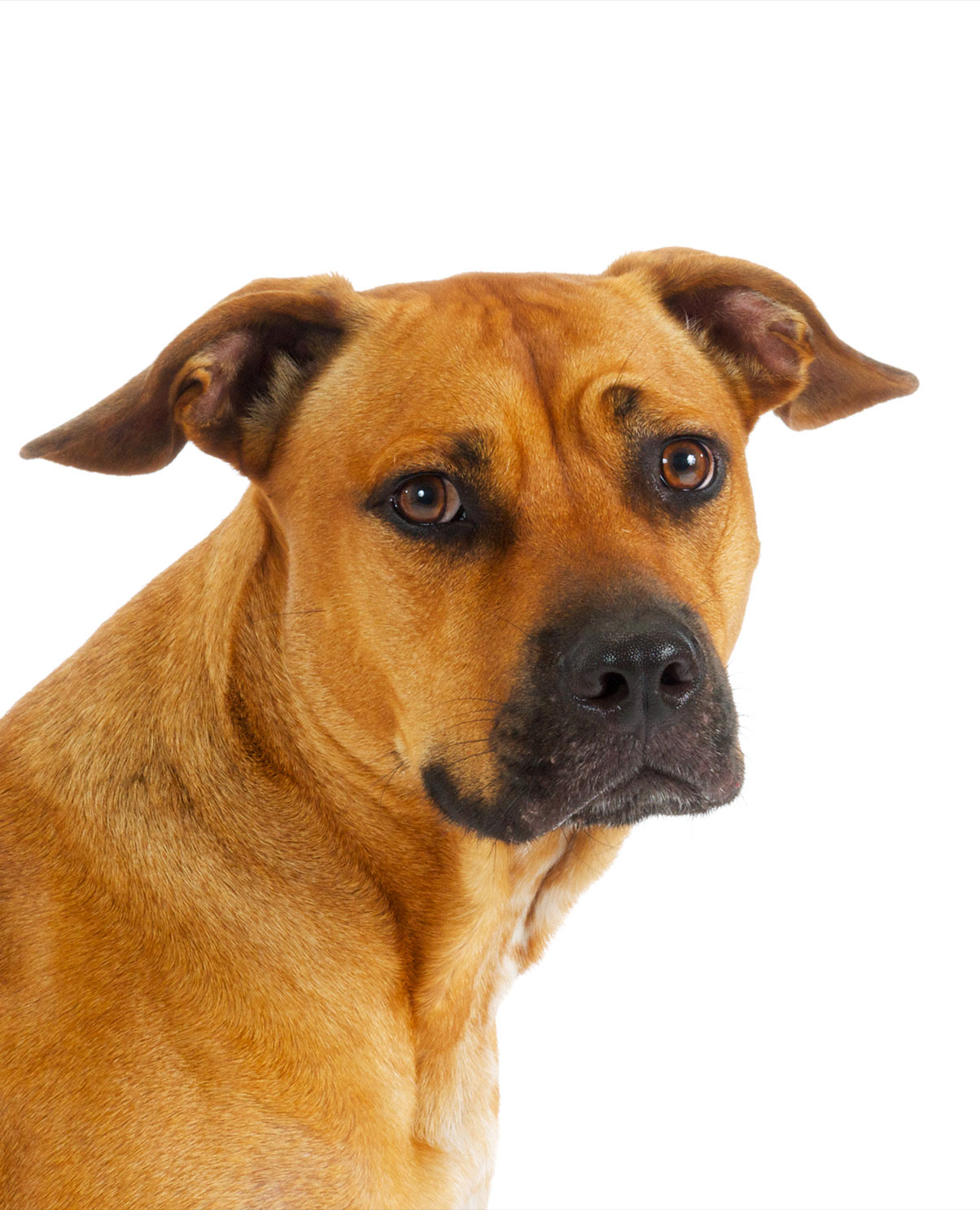 Black Mouth Cur Pitbull Mix