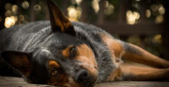 Blue Heeler: A Complete Guide To The Beautiful Australian Cattle Dog