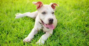 Blue Nose Pitbull – Facts, Fun and Pros and Cons