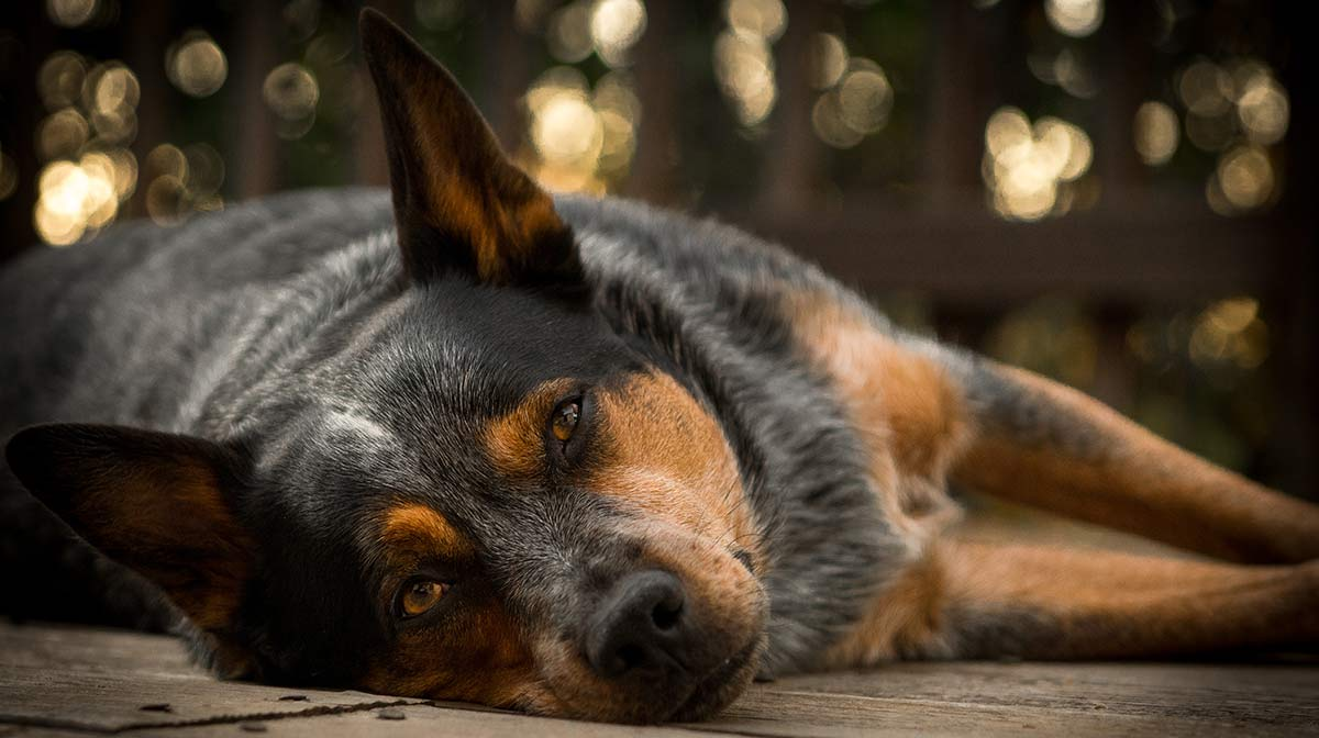 Blue Heeler - A Complete Guide To The Australian Cattle Dog