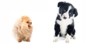 Border Collie Pomeranian Mix