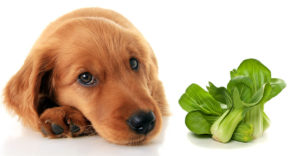 can dogs eat bok choy