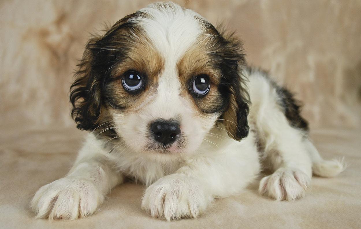 Cavachon Dog The Cavalier Bichon Mix