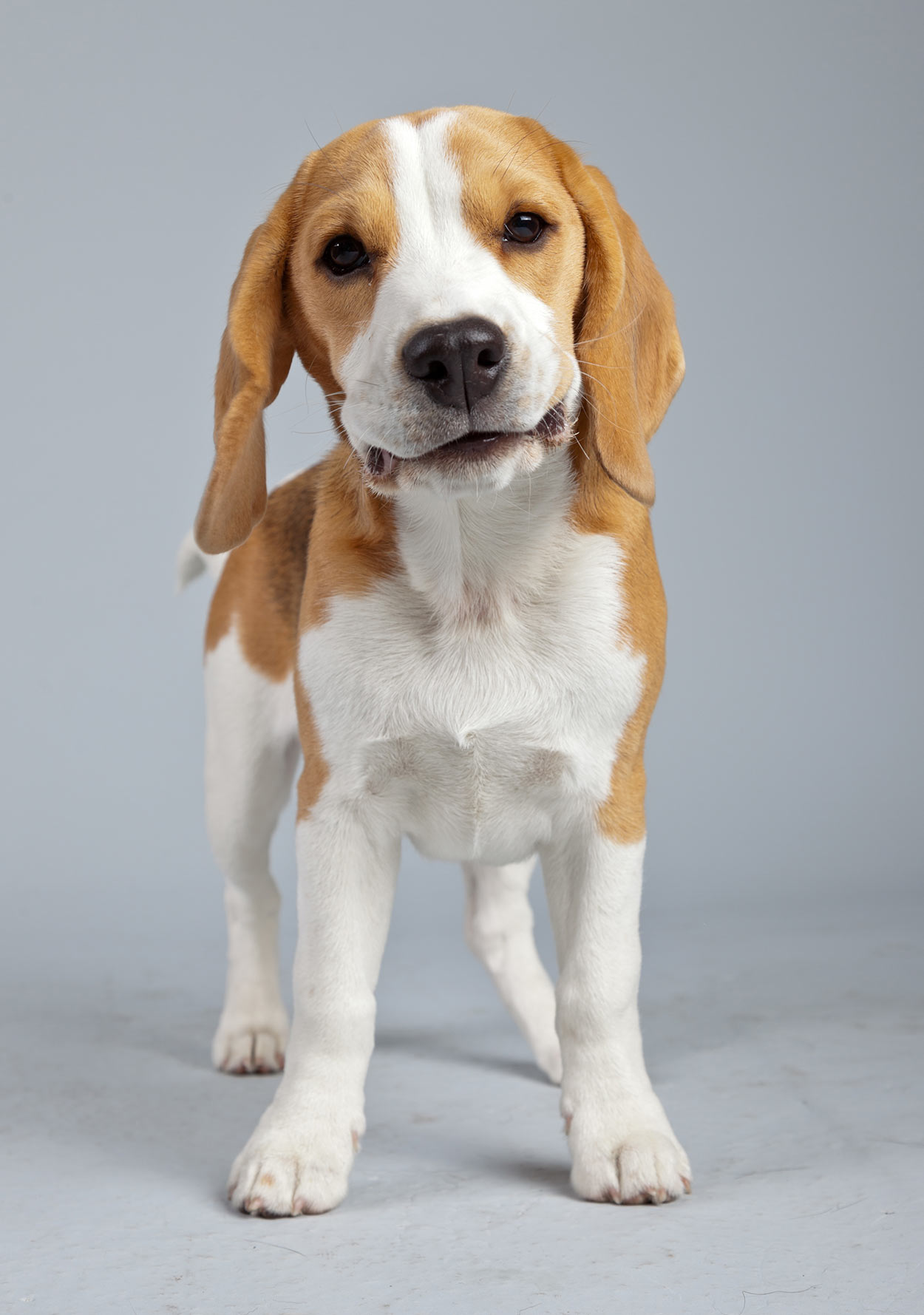 lemon beagle
