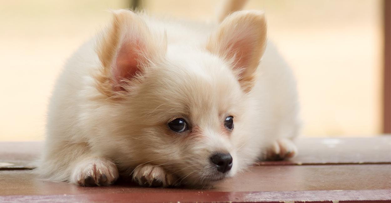 chihuahua mixes - Pomeranian Chihuahua mix