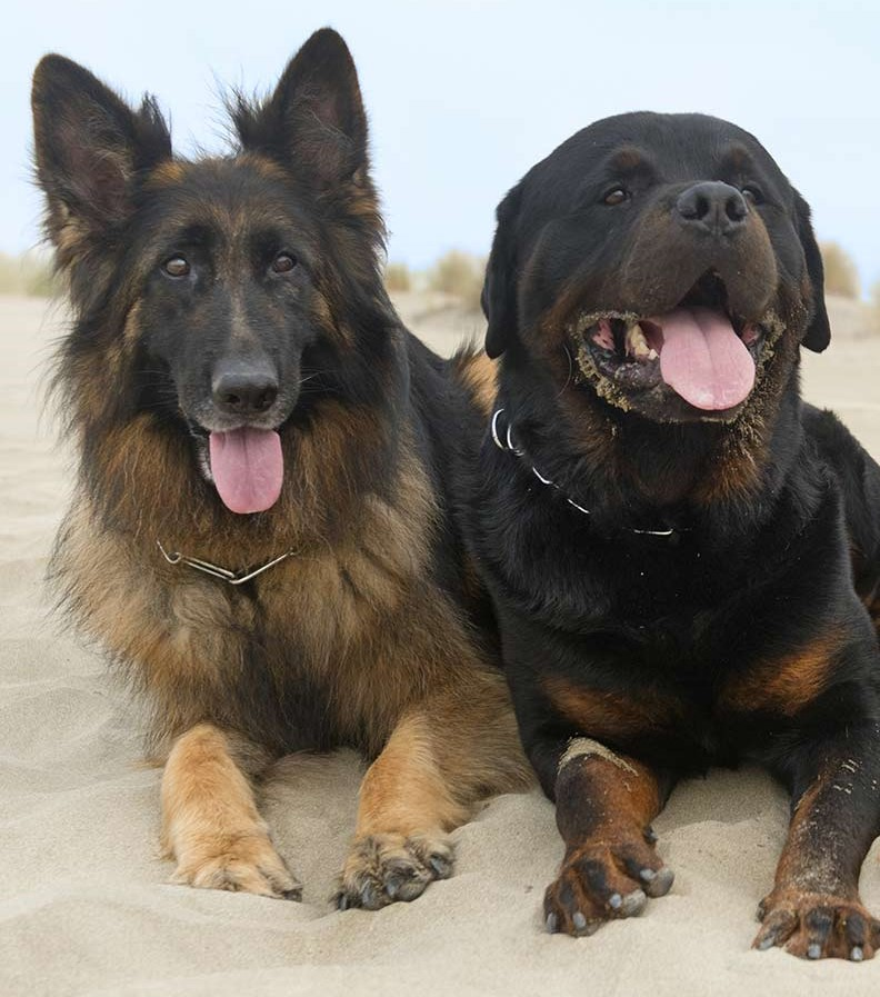 German Shepherd vs Rottweiler temperament