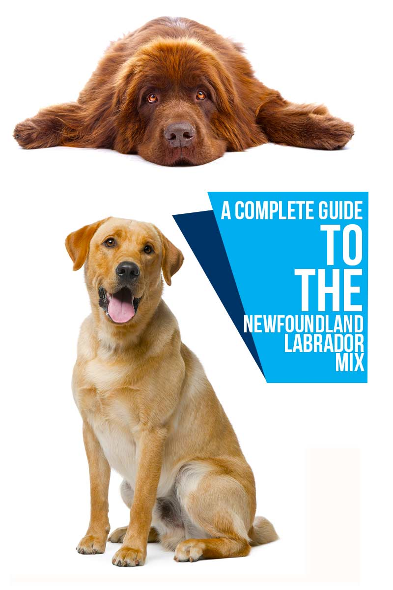 A complete guide to the Newfoundland Labrador mix - Dog breed reviews from The Happy Puppy Site.