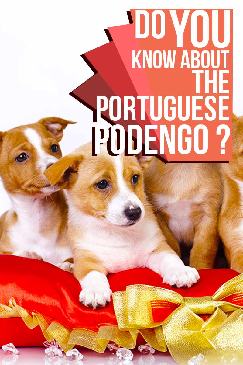 Do you know about the Portuguese Podengo? - Do breed reviews from The Happy Puppy Site.