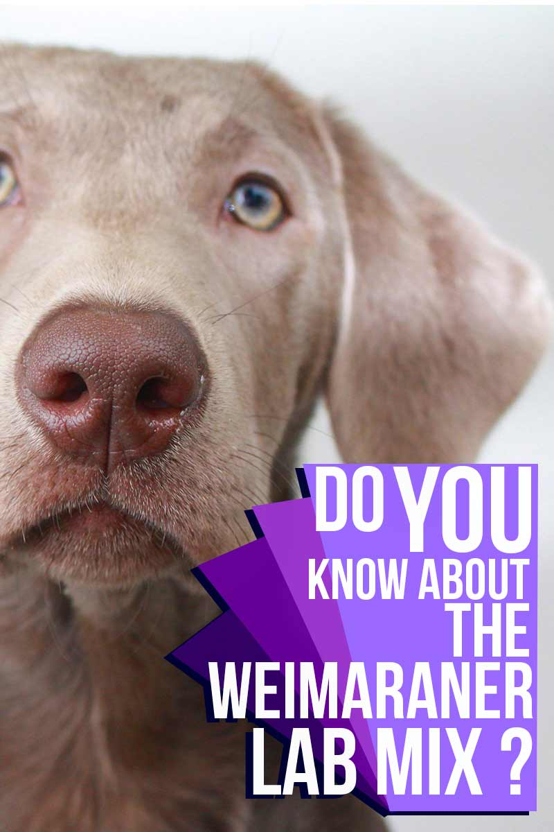 Do you know about the Weimaraner Labrador mix
