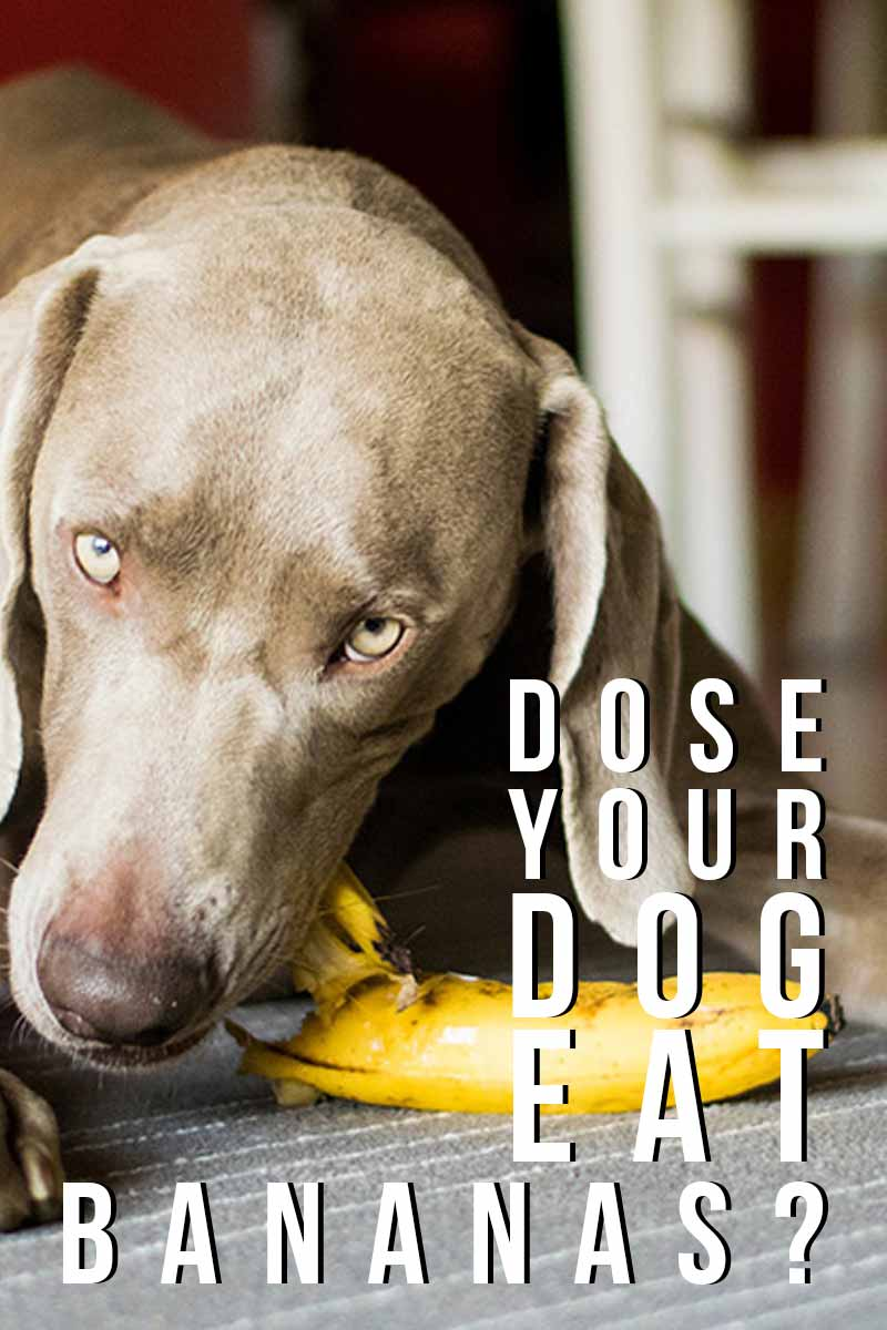 Dose your dog eat Bananas? - A guide for the best feed for your dog.