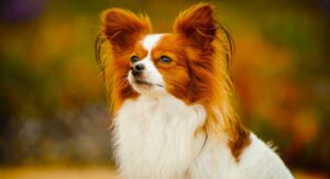 Papillon Dog Information Center – A Complete Guide To A Beautiful Breed