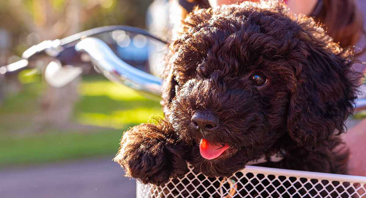Schnoodle Dog Your Complete Guide To The Schnauzer Poodle
