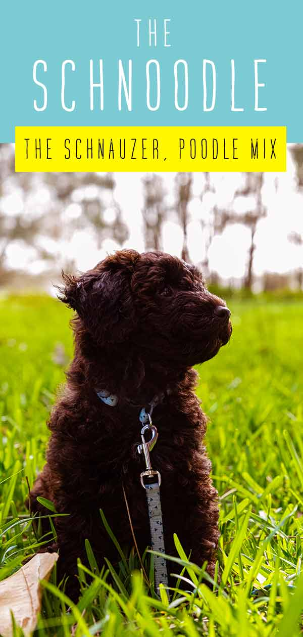 Schnoodle Dog - Your Complete Guide to the Schnauzer Poodle Mix Breed