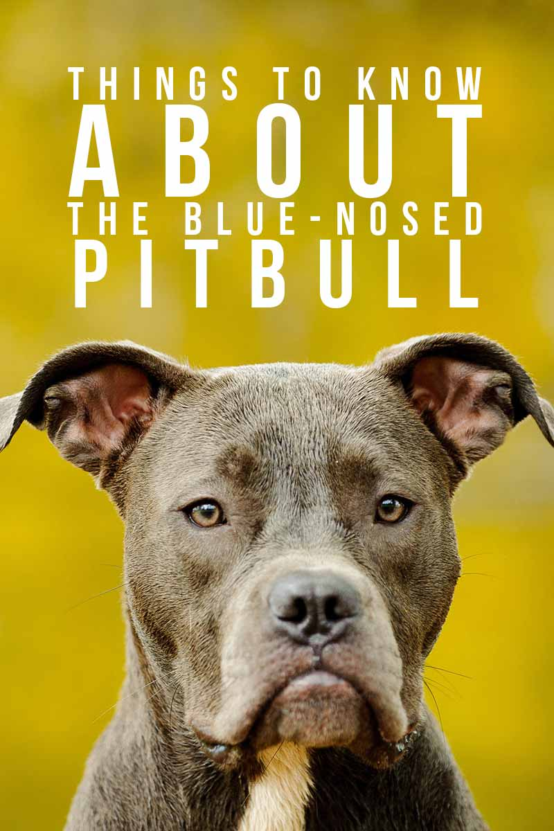 Blue Nose Pitbull - Interesting facts about dog breeds