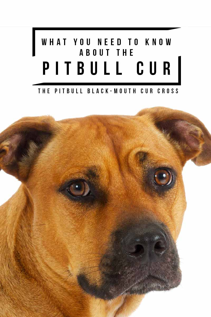 What you need to know about the Pitbull Cur - Your complete guide to the Pitbull Black-Mouth Cur mix.