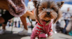 Yorkie Clothes: Find The Perfect Sweater Or Costume For Your Yorkie Dog