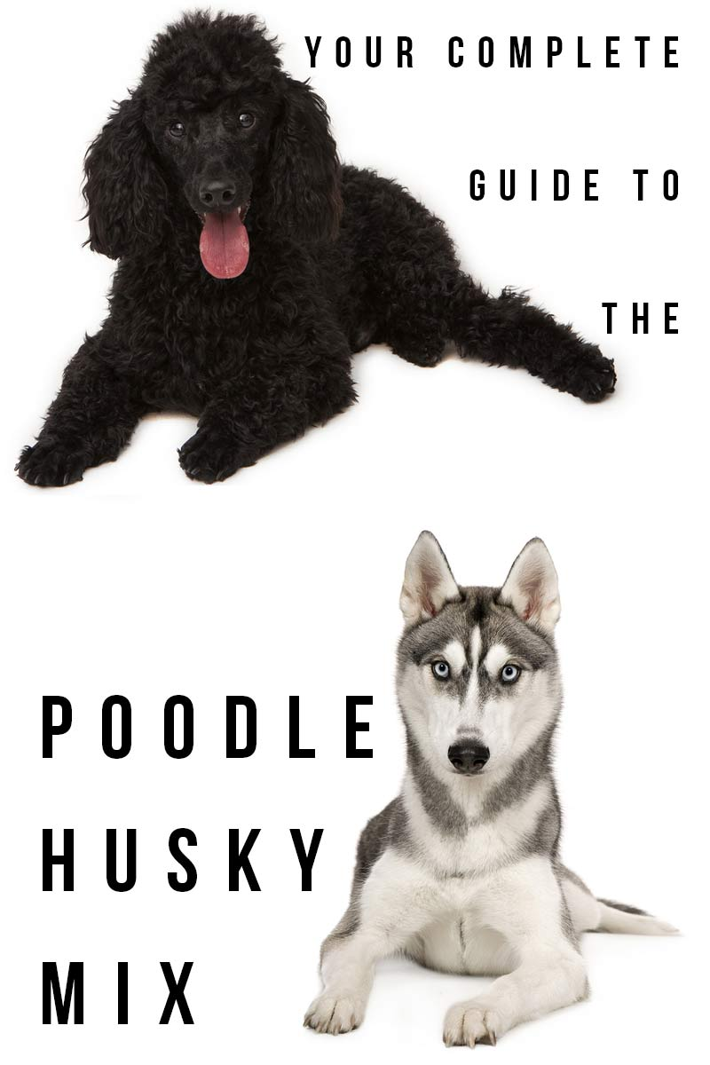 Your complete guide to the Poodle Husky Mix - Mixed breed dog review.