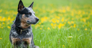 best dog food for blue heelers