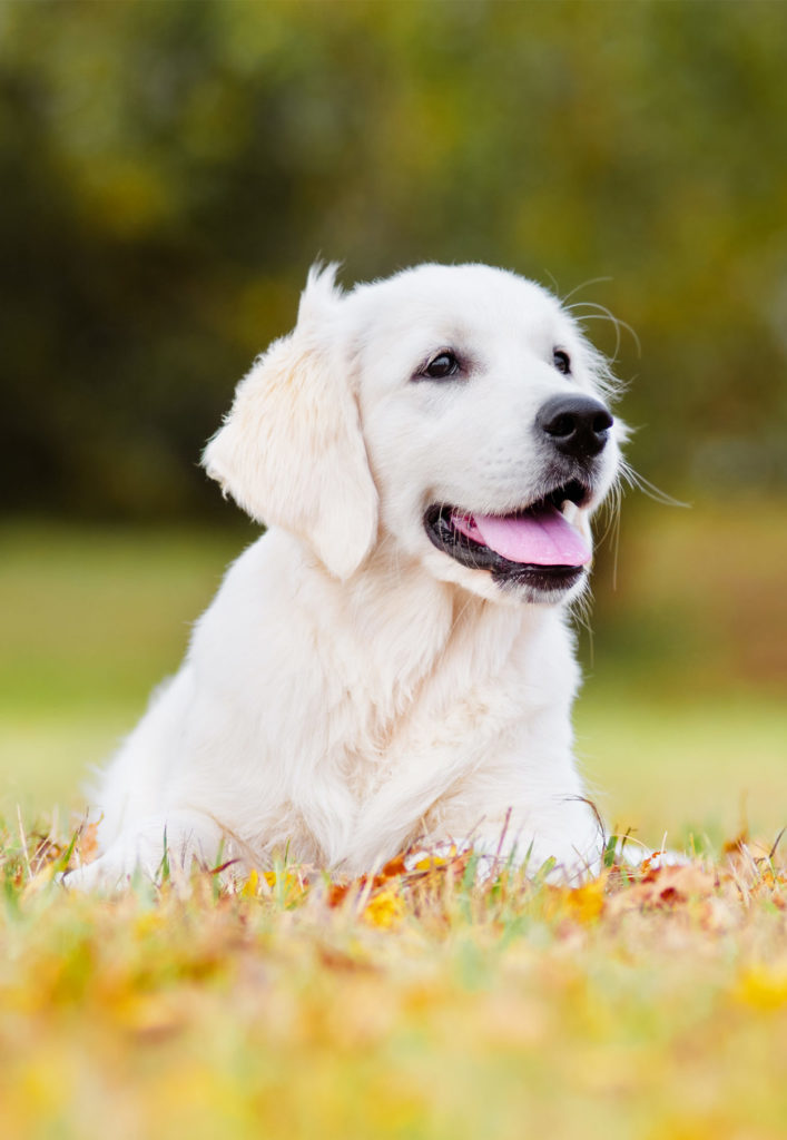 best food for golden retriever puppies amount