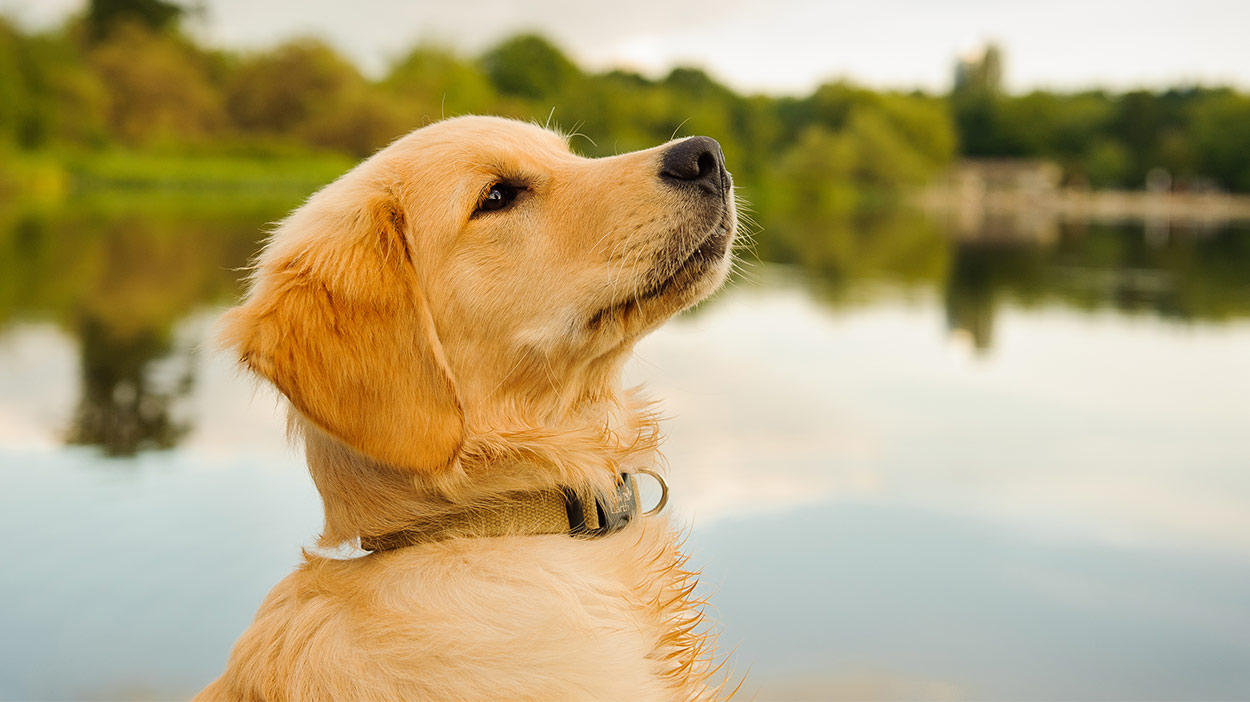 best food for golden retriever puppies