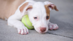 Best toys for pitbull puppies