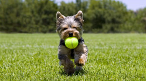 best toys for yorkies