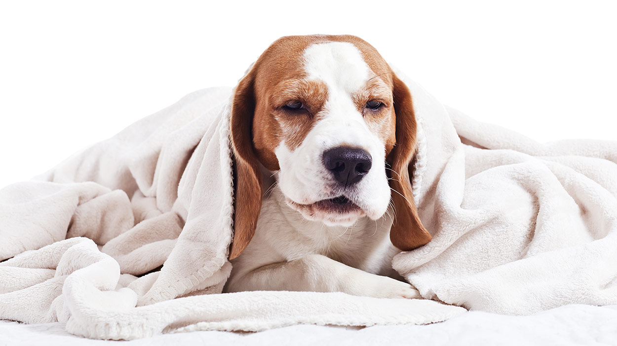 Can Humans Get Kennel Cough From Their Dogs?