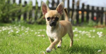 Chihuahua – A Guide To The World's Smallest Dog Breed