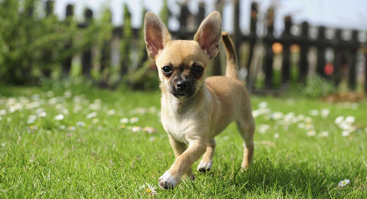 young chihuahua dog