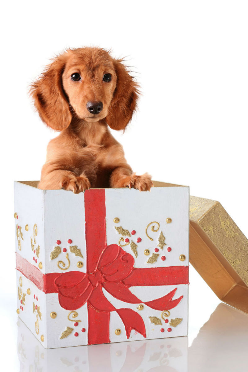 dachshund in a present box