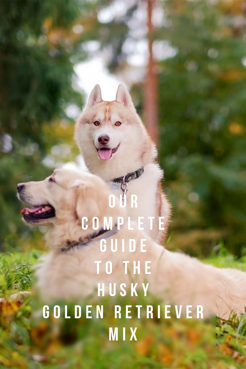 Our complete guide to the Husky Golden Retriever mix