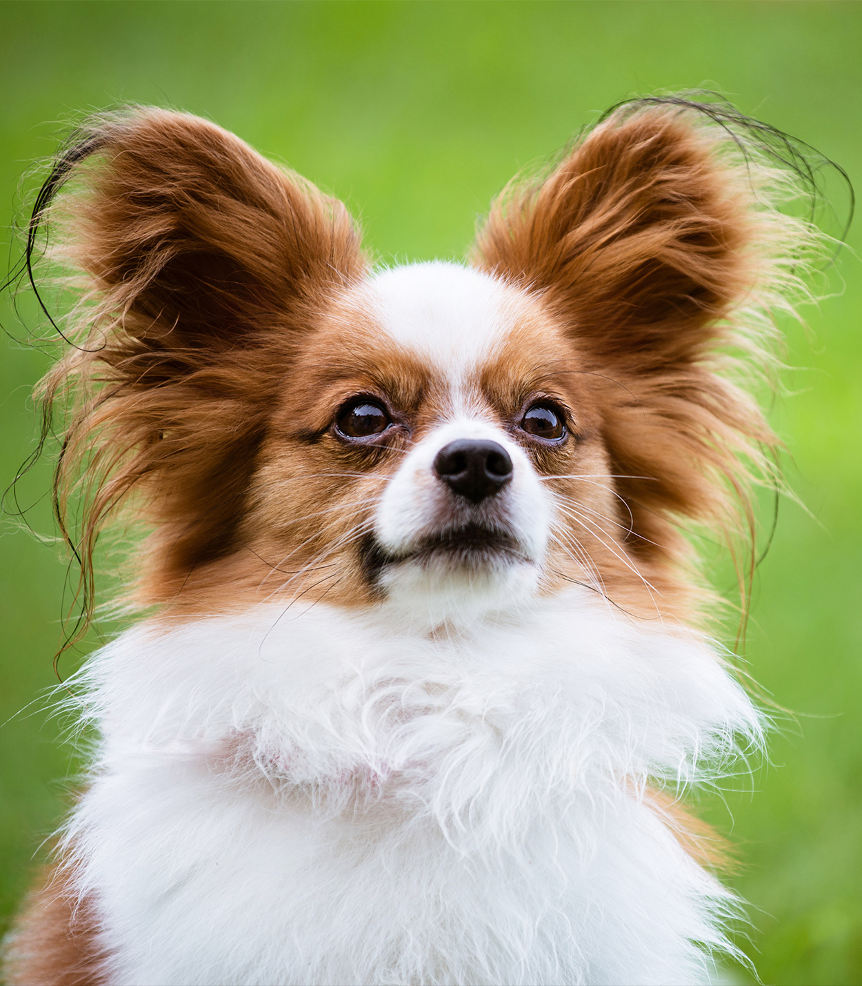 Papillon Dog Information Center - A Complete Guide To A