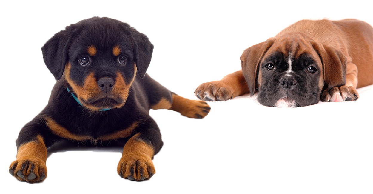 Rottweiler Boxer mix - boxer dog mixes