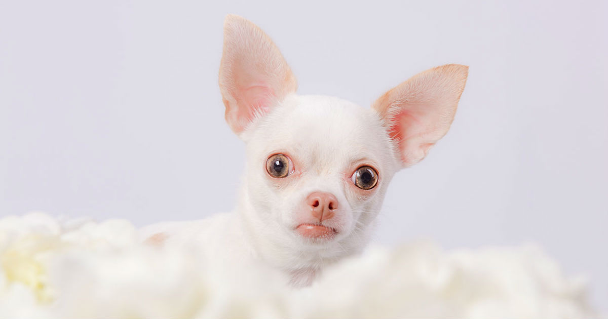 Teacup Chihuahua Pros And Cons Of The