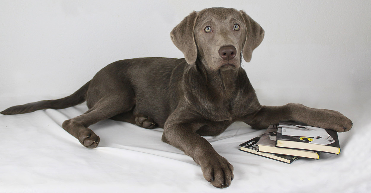 Weimaraner Lab Mix Your Guide To The