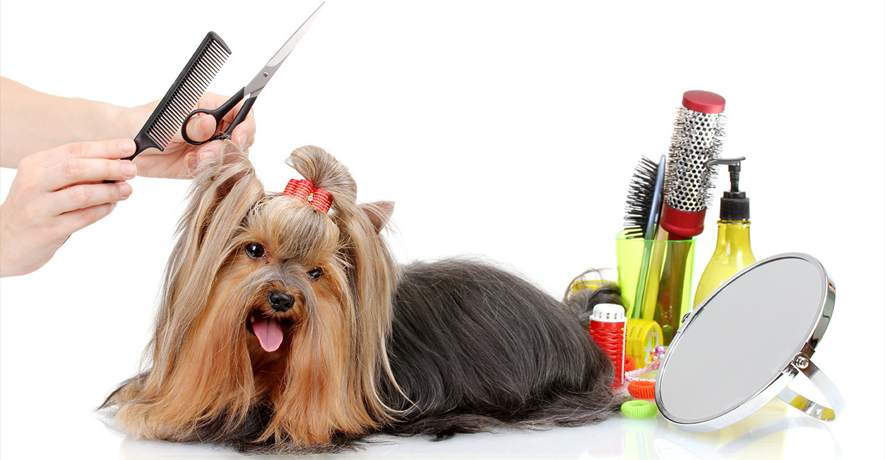 Yorkie Grooming How To Care For Your Yorkshire Terrier S Coat