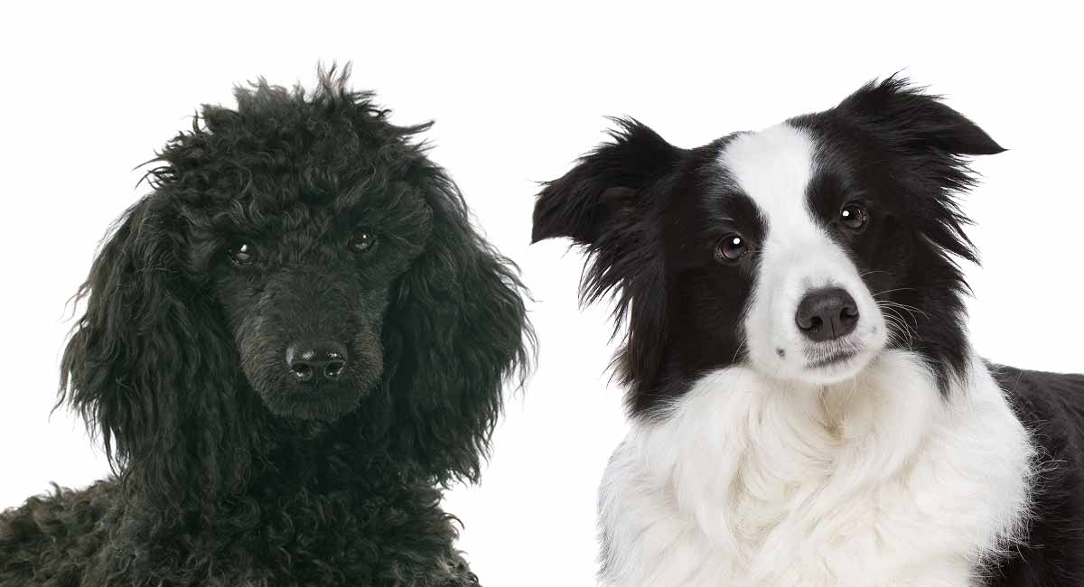 Bordoodle – Meet The Amazing Border Collie Poodle Mix