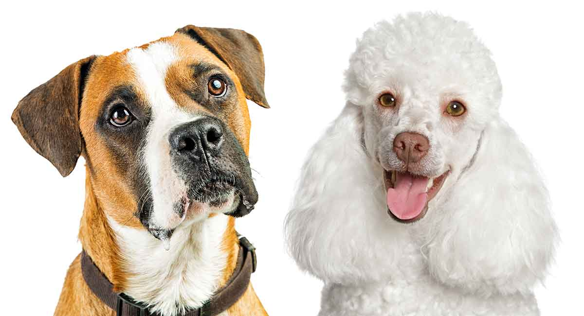 boxer and poodle - boxer doodle