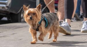 Best Harness For Yorkie - Best Yorkshire Terrier Harnesses With Reviews