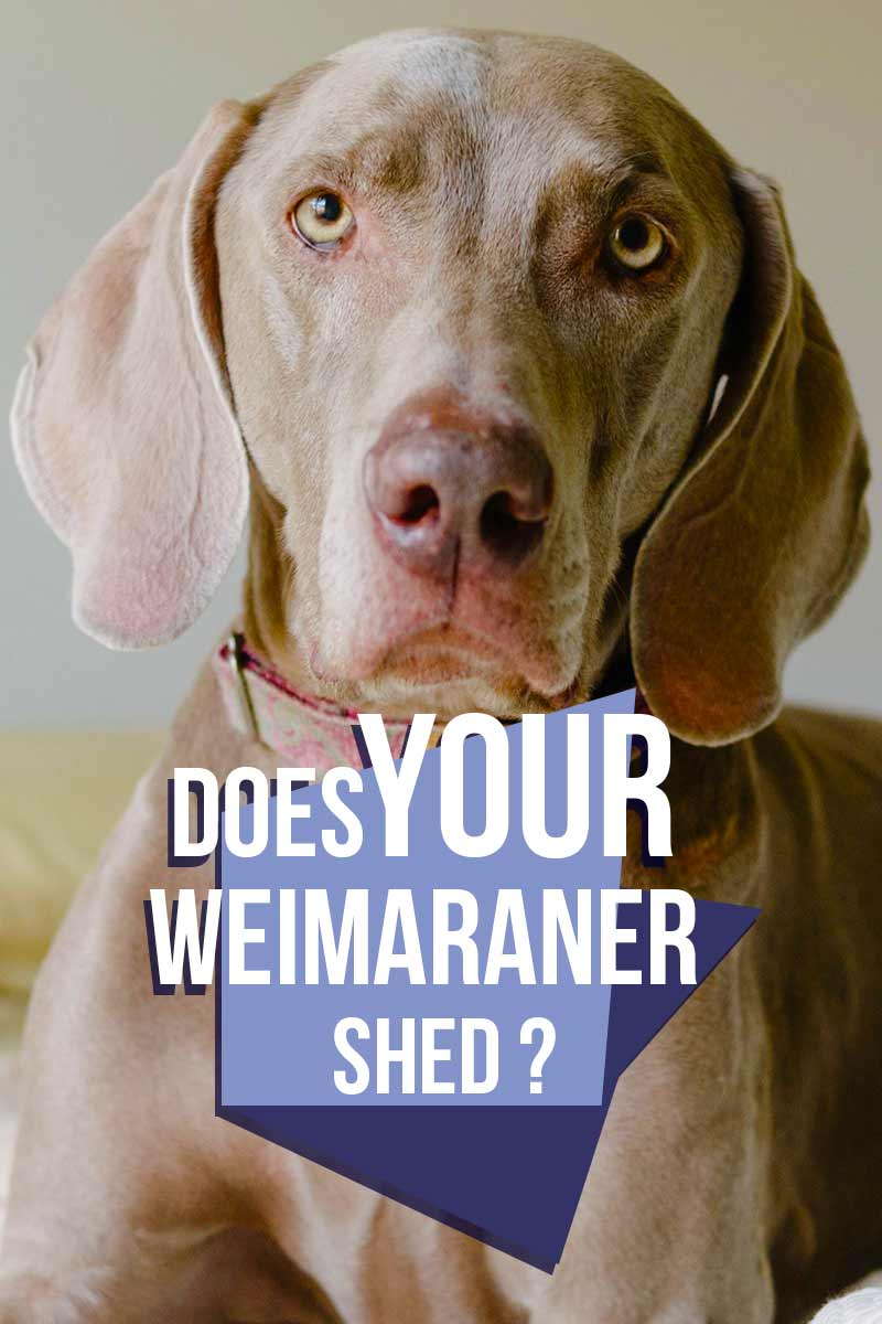 Does your Weimaraner shed? - Helpful breed advice from The Happy Puppy Site.