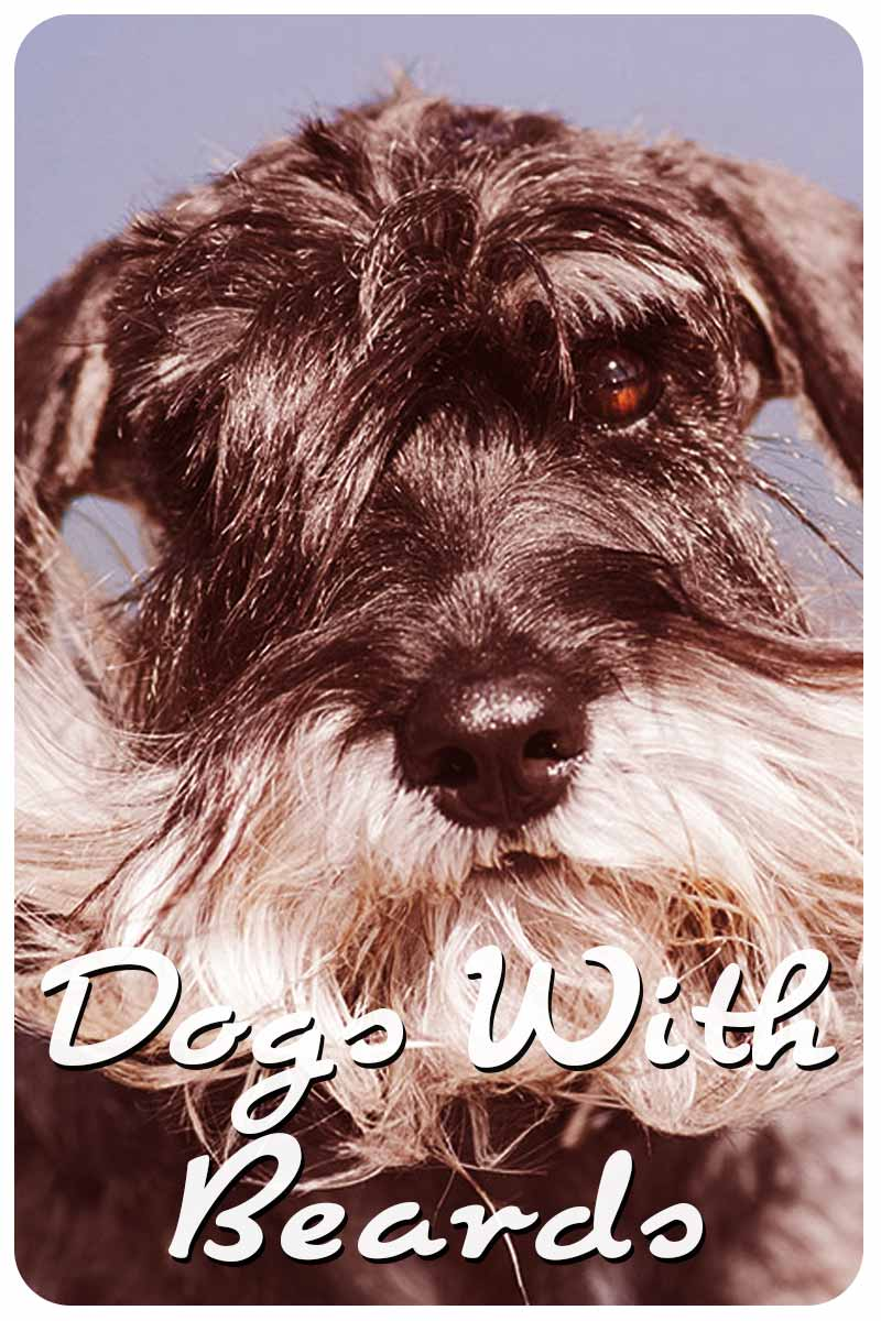 Dogs With Beards - Dog facts and fun.